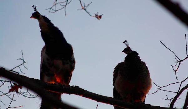 treepeacocks